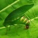 katydid labour pangs by kali66