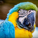 Rodney,The Macaw by carolmw