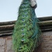 Peacock at Powis Castle by susiemc