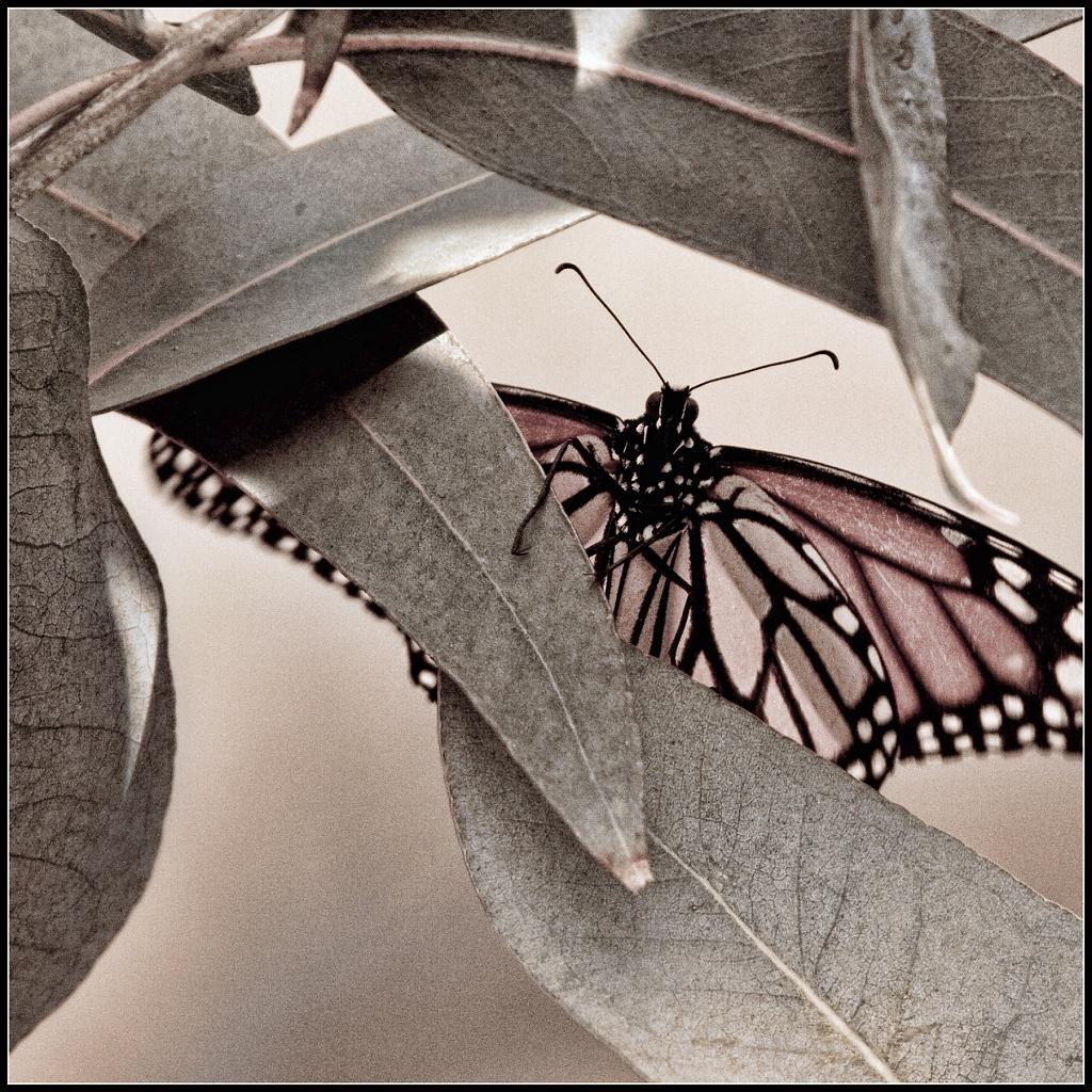 Monarch by aikiuser
