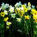 Daffodils.... by snowy