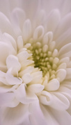 9th Apr 2016 - White chrysanthemum