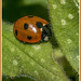 Ladybird by pcoulson