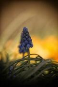 10th Apr 2016 - Grape Hyacinth