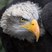 Bald Eagle by leonbuys83