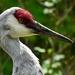 sandhill crane by mjalkotzy