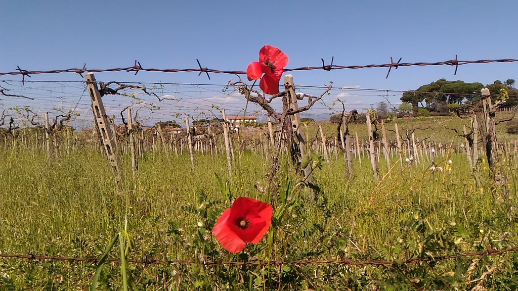 Poppies by frappa77
