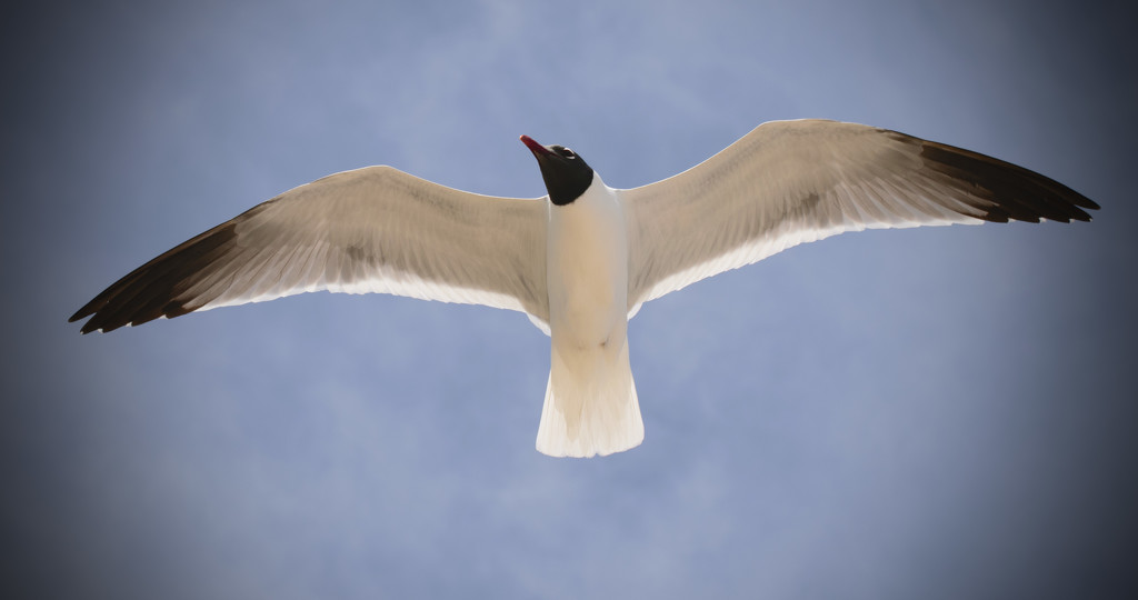 Seagull in flight! by rickster549