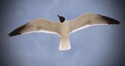 11th Apr 2016 - Seagull in flight!