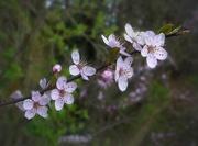 12th Apr 2016 - spring blossom 2