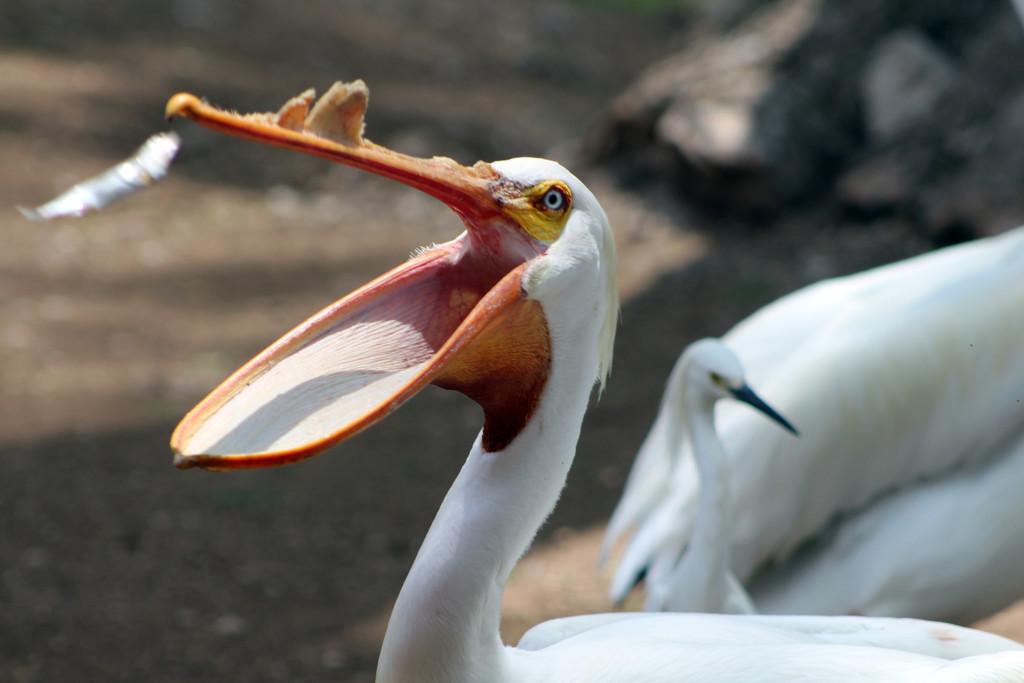 Pelican Feeding Time by gaylewood