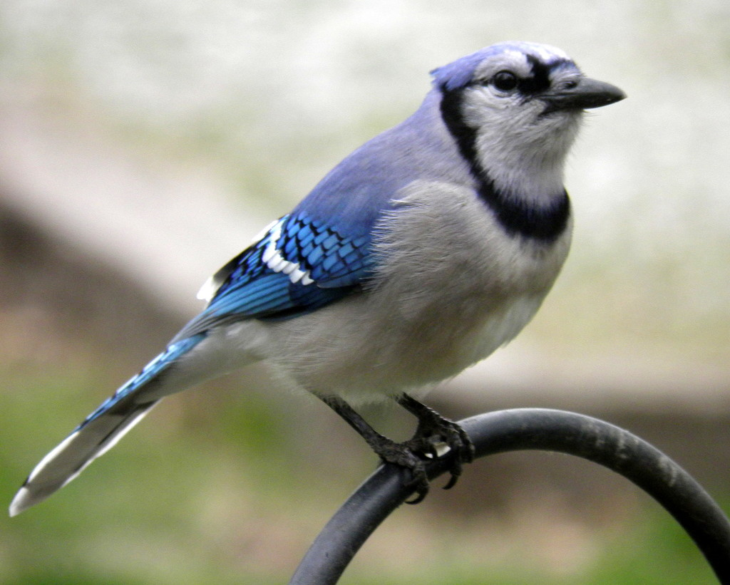 Blue Jay by daisymiller