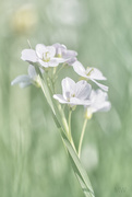 12th Apr 2016 - 2016-04-12 Cardamine pratensis
