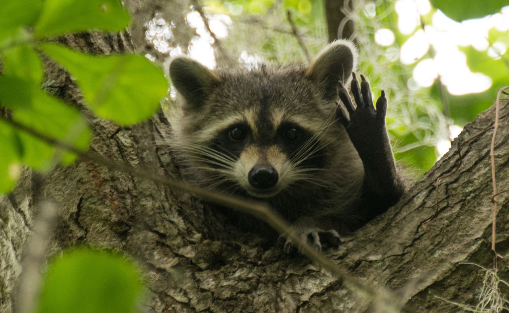 Another Friendly Raccoon! by rickster549