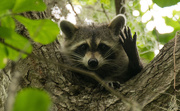 12th Apr 2016 - Another Friendly Raccoon!