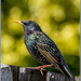 Starling by pcoulson