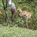 Sandhill Crane Chick by rob257