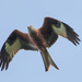 2016 04 13 Red Kite by pamknowler