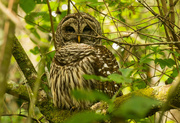 13th Apr 2016 - The Barred Owl!
