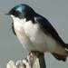tree swallow by mjalkotzy