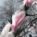 Magnolia 3 by dorsethelen