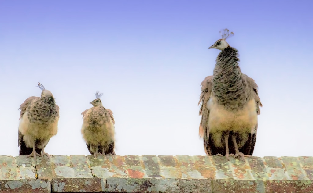 Peahen and youngsters by shepherdmanswife