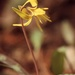 Trout Lily by mzzhope