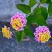 Lantana (Butterfly bush) by congaree