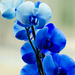 Blue Orchid by elisasaeter