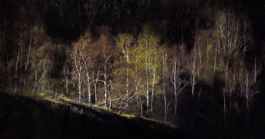 Malvern Birches by lupus