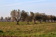 11th Apr 2016 - Row of olive trees