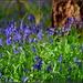 Bluebells in Sheerhatch Wood