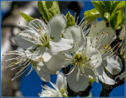 17th Apr 2016 - Plum Blossom 2