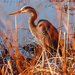 Blue Heron in the grasses by joansmor