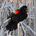 Red-winged Blackbird Displaying by annepann
