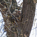 Great Horned Owl Babies by tosee