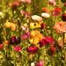 Flower Fields Impressionism by joysfocus