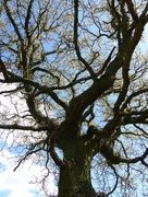 18th Apr 2016 - Knotted Tree
