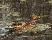 18th Apr 2016 - Marsh at the edge of my backyard