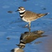 killdeer by mjalkotzy