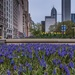 Chicago Begins to Bloom by taffy