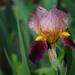 Iris by dsp2