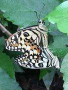 20th Apr 2016 - Butterflies