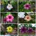Allamanda Flowers... by happysnaps