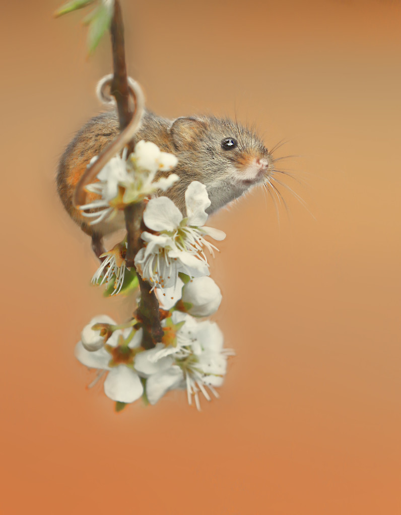 Harvest Mouse Lookout by shepherdmanswife
