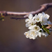 Blossom by kiwichick