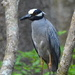 Yellow-crowned night heron in Beidler Forest at Four Holes Swamp, Dorchester County, South Carolina. by congaree