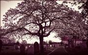21st Apr 2016 - Graveyard Blossom