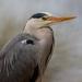 2016 04 21 - Heron by pixiemac