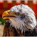 American Bald Eagle by carolmw